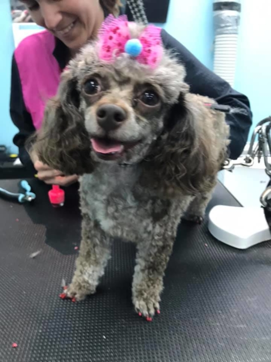 Small brown poodle being groomed | Ponga's Pet Palace | Pet Grooming, Boarding, Doggie Day Care | Mandeville, Covington, Madisonville, Lacombe, LA