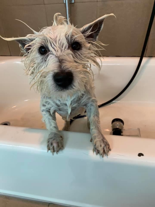 Little white dog getting a bath | Ponga's Pet Palace | Pet Grooming, Boarding, Doggie Day Care | Mandeville, Covington, Madisonville, Lacombe, LA