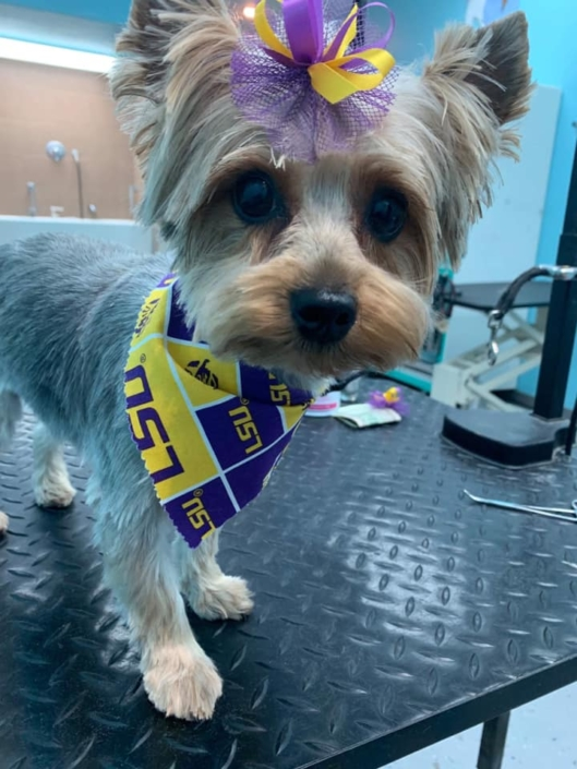 A cute Yorkie after being groomed with bling | Ponga's Pet Palace | Pet Grooming, Boarding, Doggie Day Care | Mandeville, Covington, Madisonville, Lacombe, LA